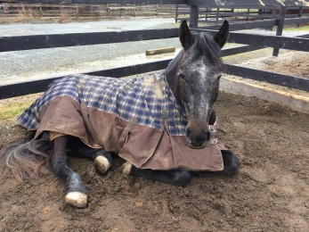 Stella laying in the mud!